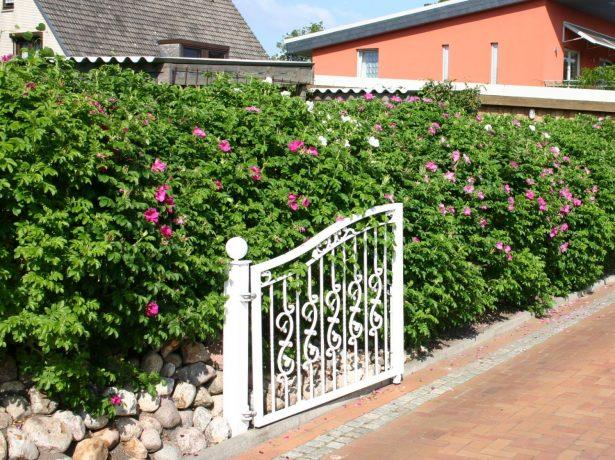 Стена цветущего шиповника