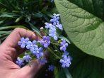 Декоративная бруннера — голубые цветочные облачка и фактурные листья