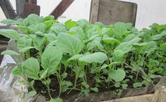 Сроки посадки брокколи и цветной капусты на рассаду