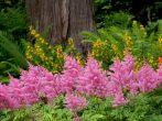 Знакомая незнакомка астильба: виды и сорта