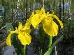 Виды и сорта ирисов для садовых участков: влаголюбивые и сухолюбивые, корневищные и луковичные