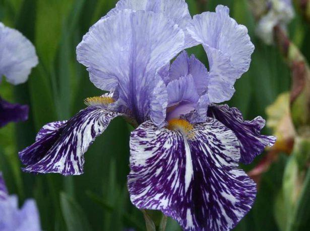 Iris germanica 'Millennium Falcon'