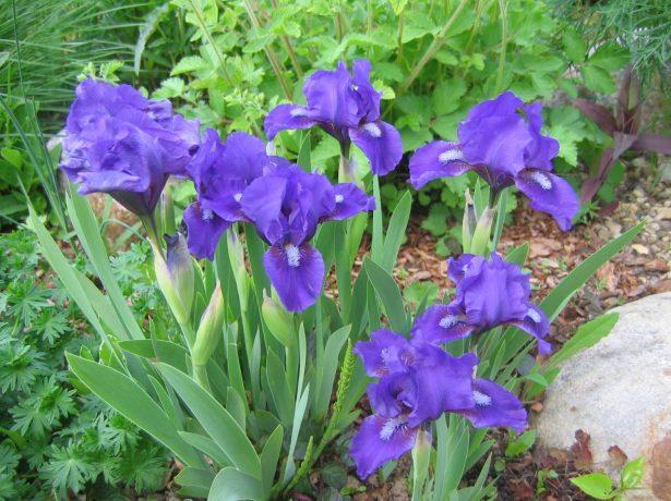 Iris pumila фиолетовый