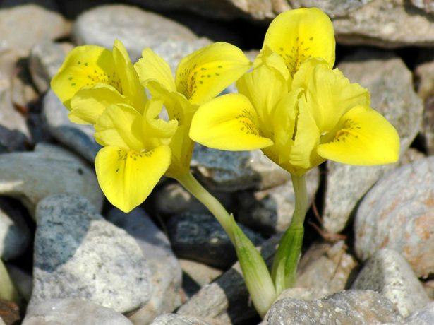 Iridodictyum (Iris) danfordiae