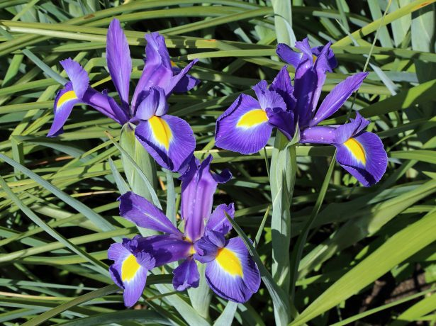 Xiphium latifolium = Iris latifolia