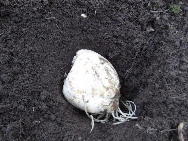 Положение луковицы в лунке