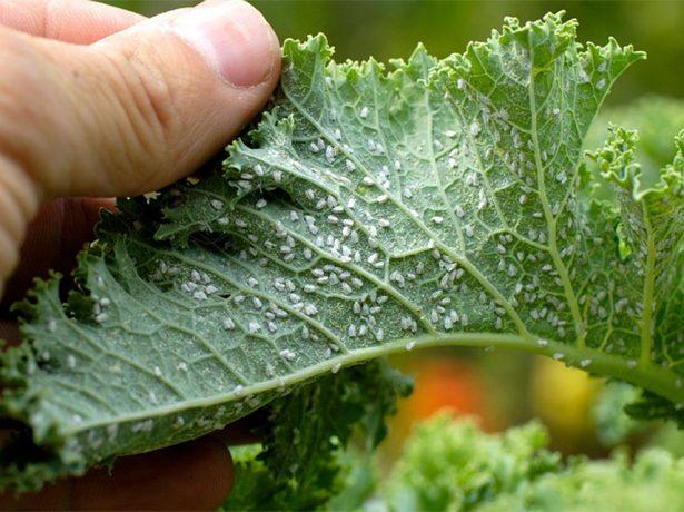 Тля на листе растения