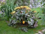 Бузульник в саду