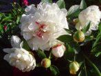 Пленительная роскошь: виды и сорта пионов для российских садов