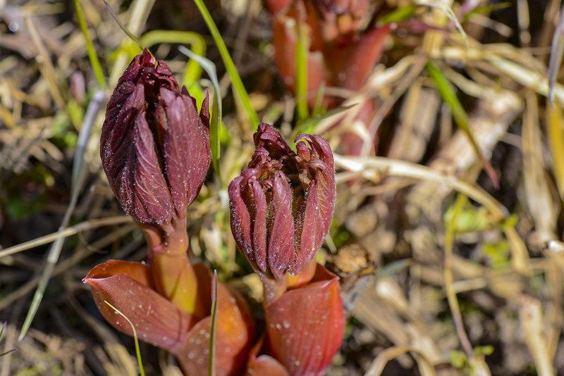 Роскошные пионы: особенности весеннего ухода