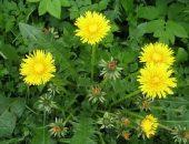 Сорняки — одуванчики на огороде