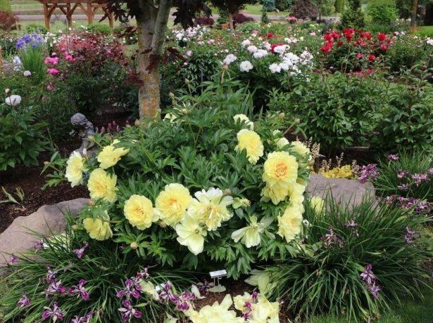 Пион Бартзелла в цветочной композиции