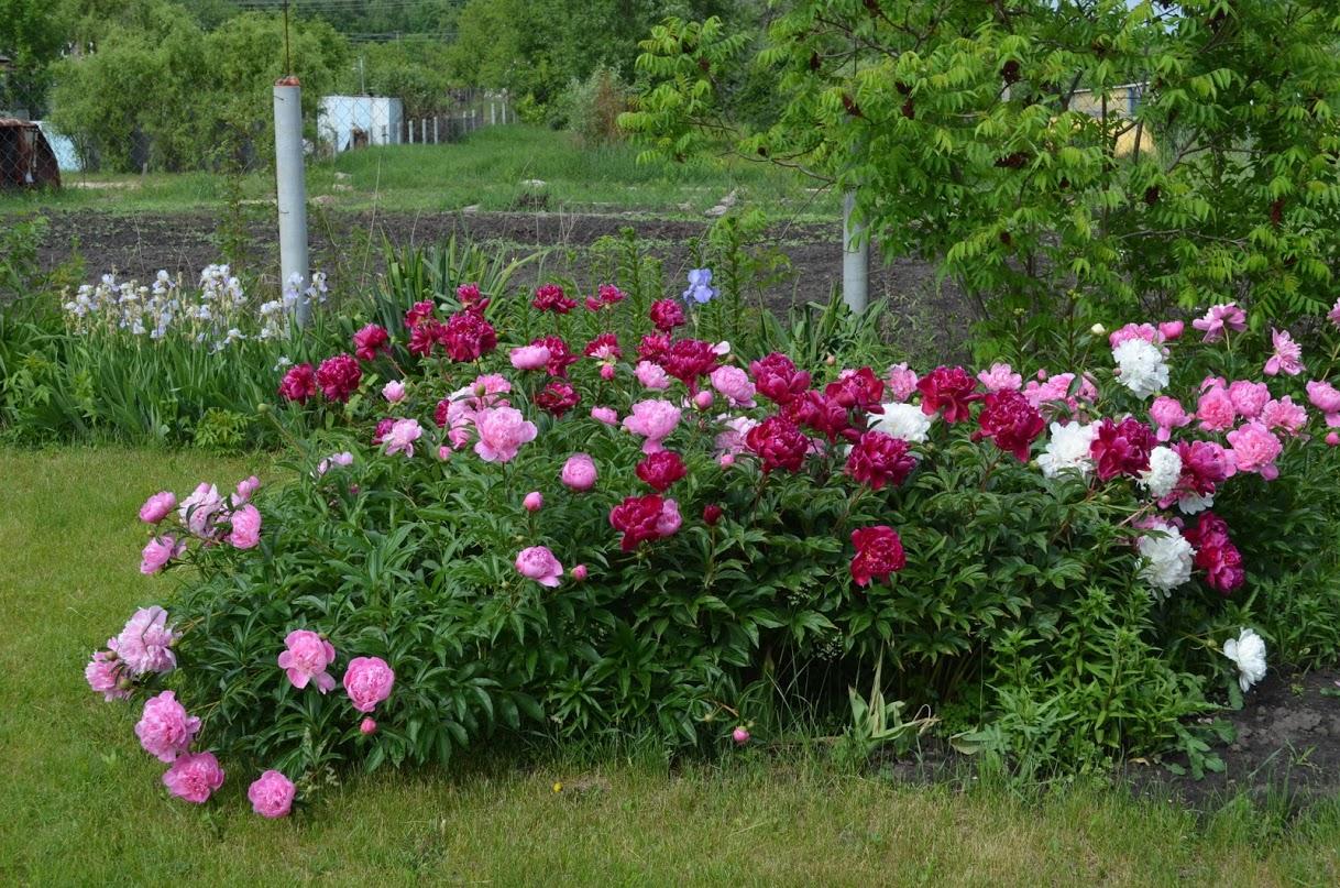 Как красиво посадить пионы на участке фото