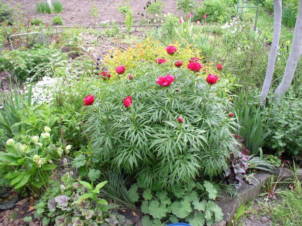 Пион в саду