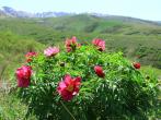 Пион уклоняющийся: польза и вред, как вырастить его в своём саду