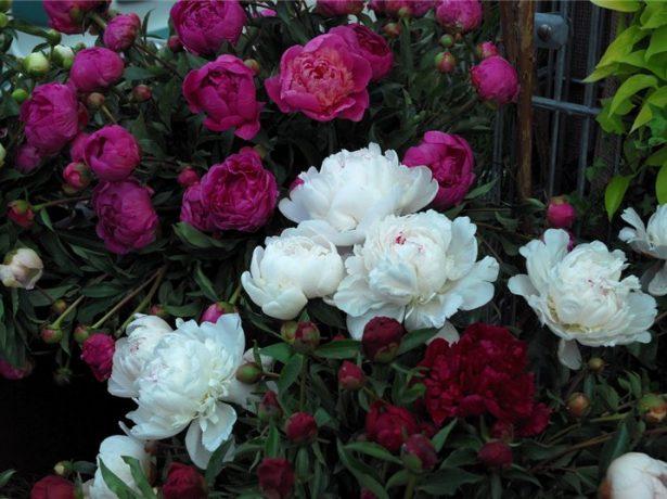 Сорта пионов с цветами разной окраски