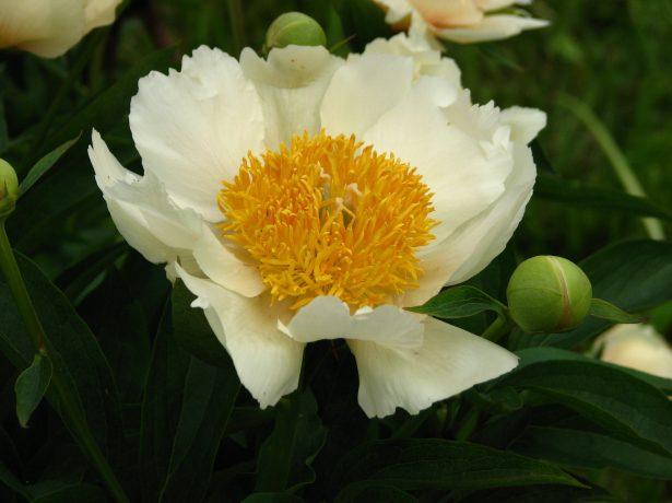 Пион травянистый сорт Клер де Люн