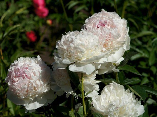 Пион травянистый сорт Мадам Дюсель