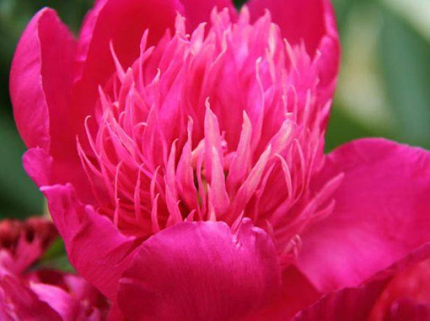 Пион травянистый сорт Парпл Спайдер