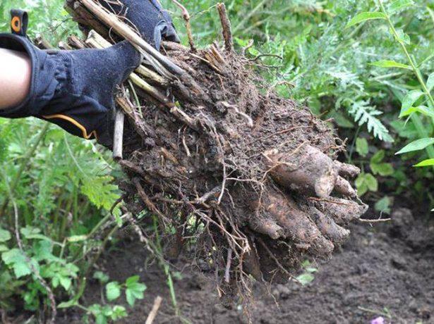Выкопанный куст