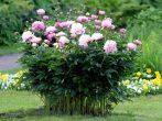 Пион — «императорский цветок»: как посадить и вырастить многолетник с безупречной красотой
