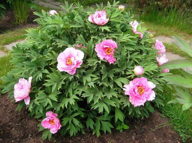 Древовидный пион в саду