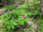 Кавказский пион: дикий аленький цветочек из Красной книги