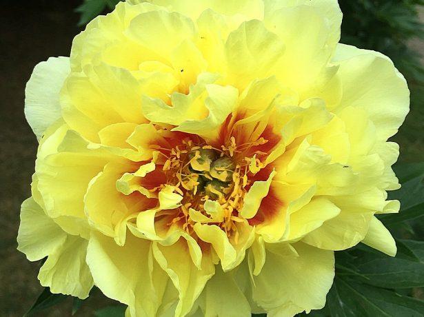 Пион Yellow Crown