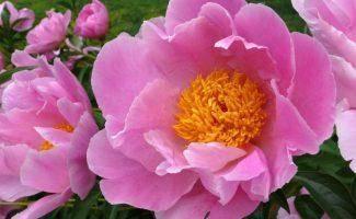 Цветки японского пиона