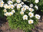 Скромное очарование японских пионов: как выбрать и ухаживать за растениями