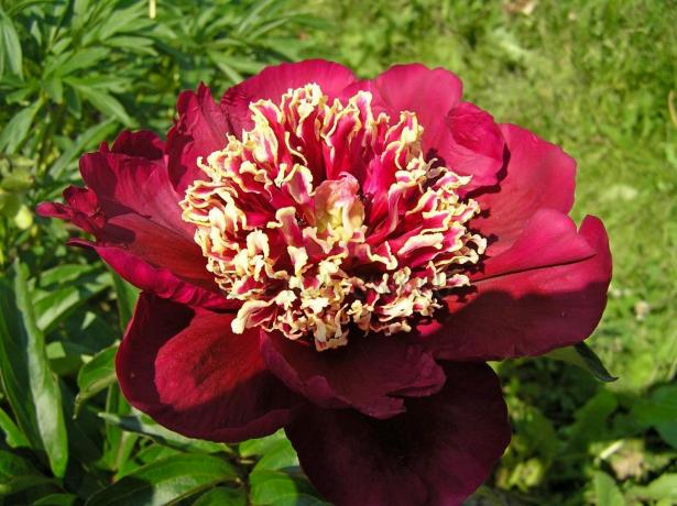 Цветок японского пиона на солнце