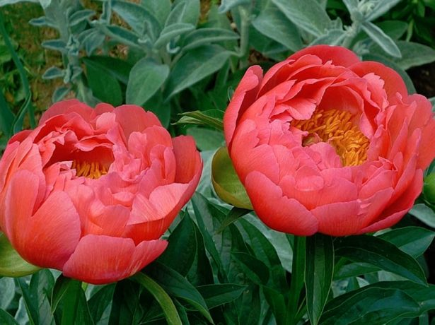 Цветки пиона Корал Сансет
