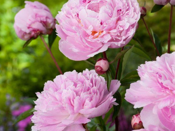 Травянистый розовидный махровый пион сорта Сара Бернар