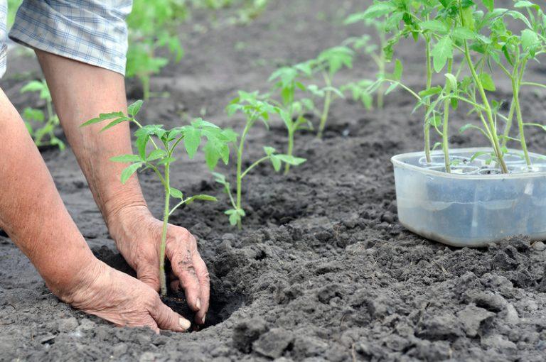 грунт под рассаду томатов