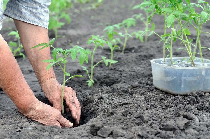 На что ориентироваться, выбирая день для высадки рассады томатов