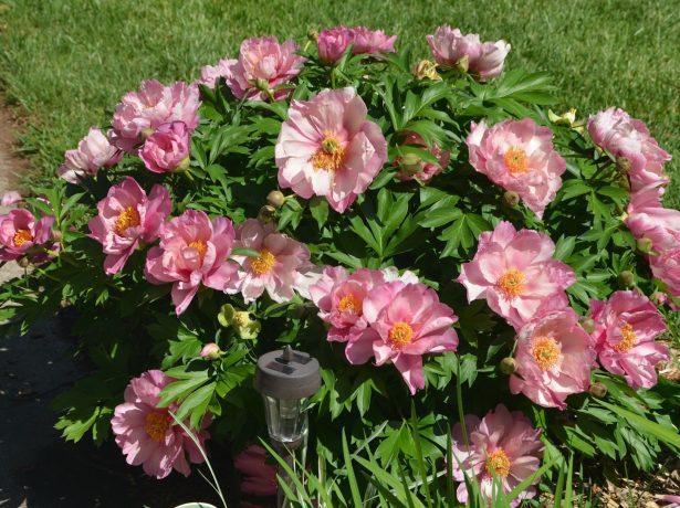 Травянистый пион розовидный сорт Пинк Дабл Денди