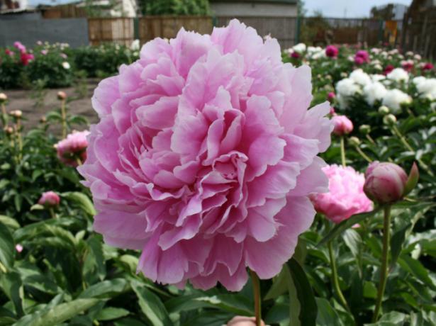 Травянистый розовидный махровый пион сорт Марта Буллок