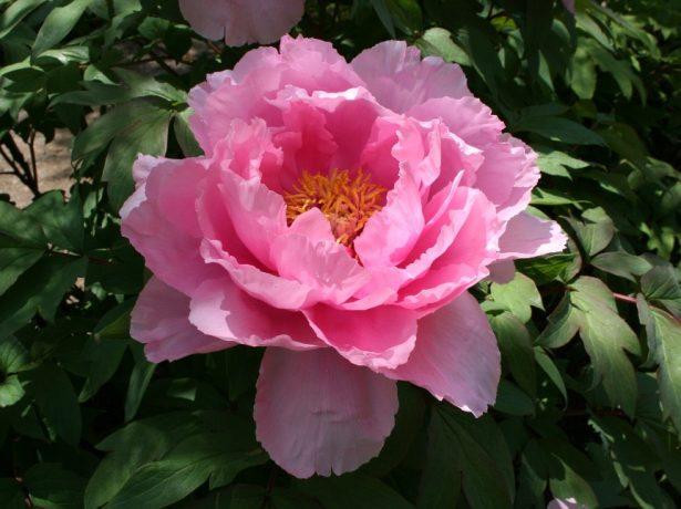 Древовидный пион полумахровый сорт Розовый король