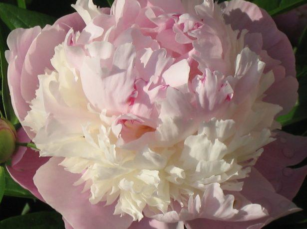 Травянистый пион махровый розовидный сорт Щербет
