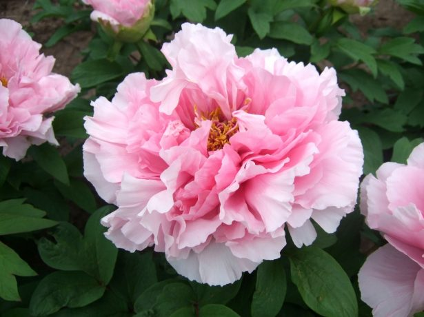 Древовидный пион махровый розовидный сорт Розовый лотос