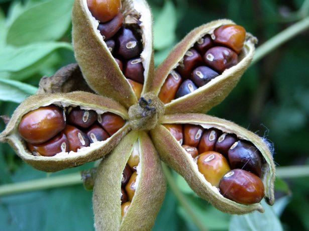 Плод пиона