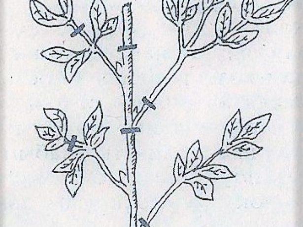 Схема нарезки черенков пиона