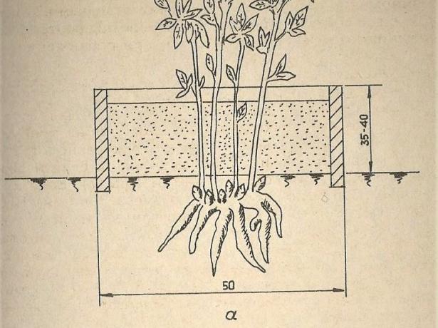Вертикальные отводки пиона