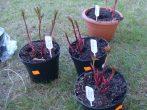 Как посадить пионы весной