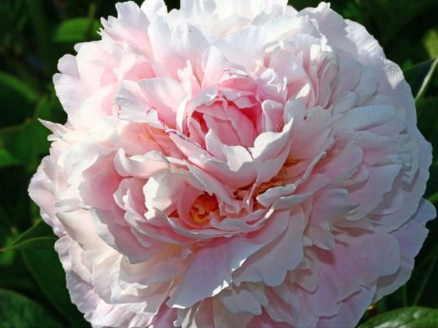 Травянистый пион махровый розовидный сорт Мерседес