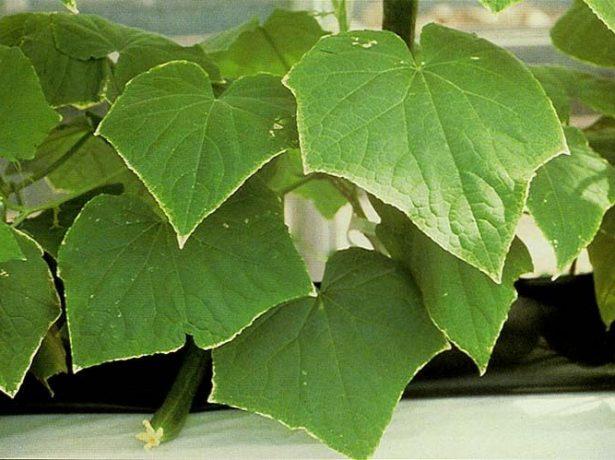Огуречные листья при дефиците калия