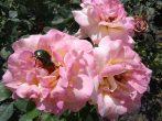 Жуки на розах: как избавиться с помощью народных и химических средств