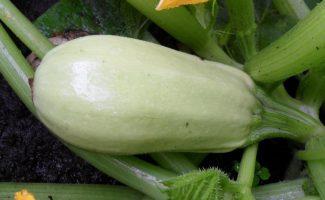 Белоплодные кабачки