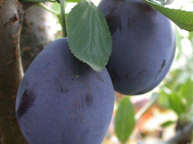 Плоды сливы Стенлей