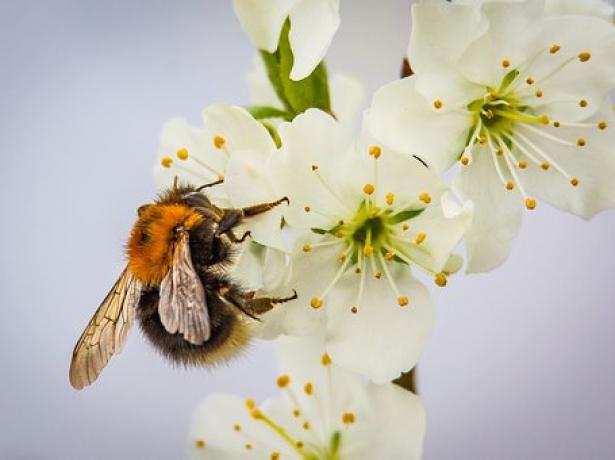 Пчела опыляет цветок сливы